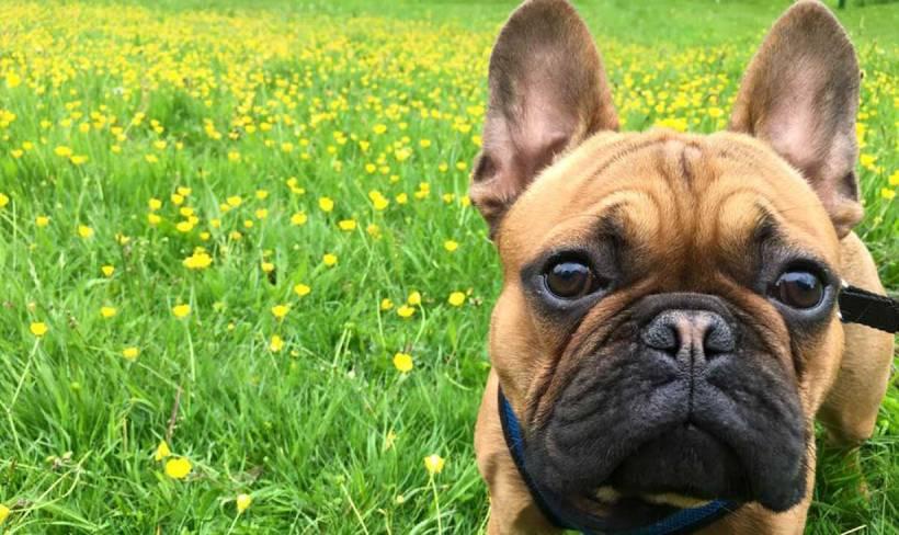 Buddy the Frenchbulldog in Bristol